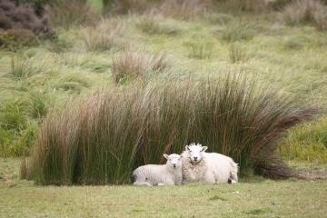 Comfy sheep.