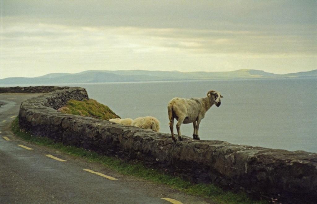 sheepview