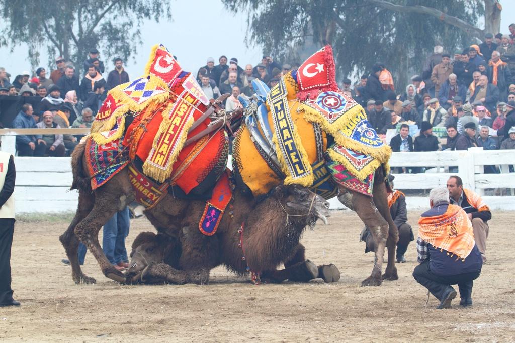 Camel wrestling in Turkey.