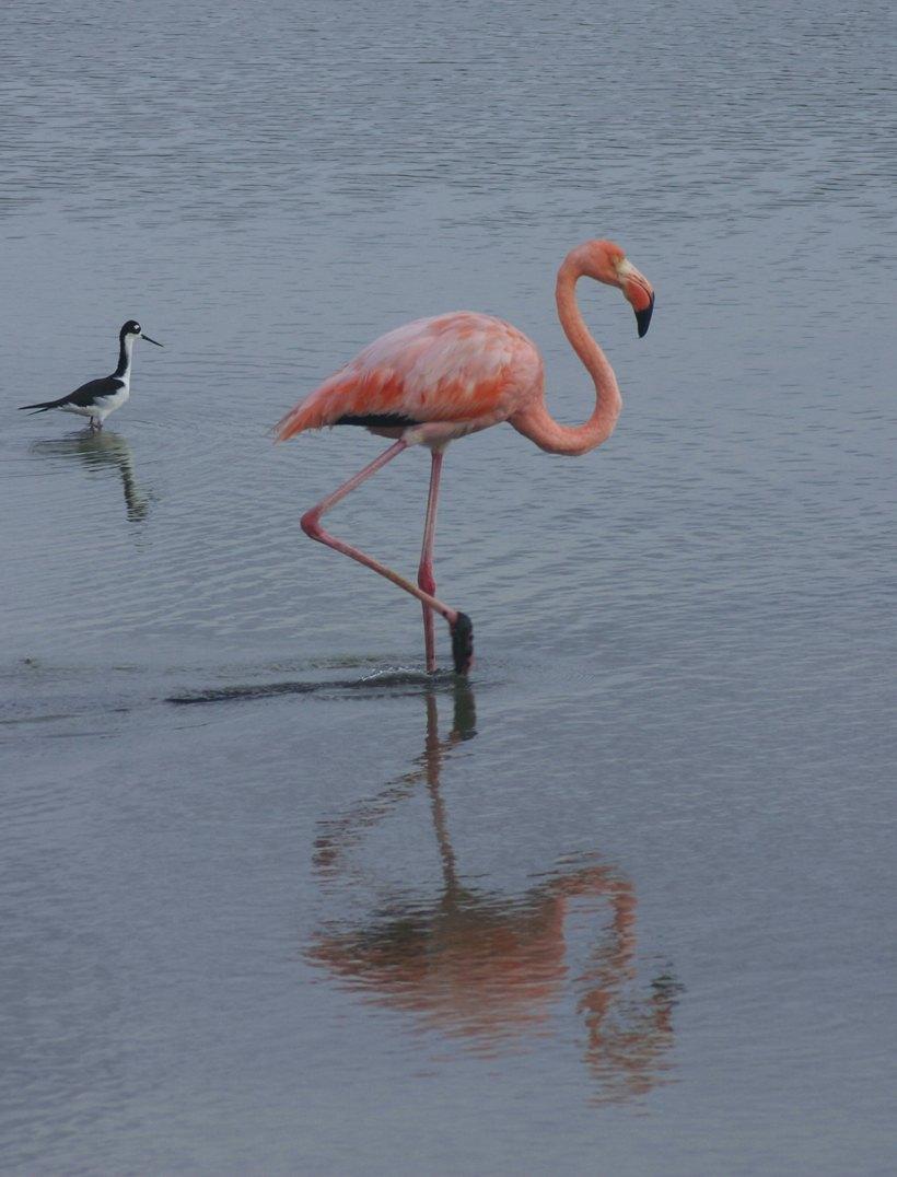 World Heritage Site Galapagos Flamingo