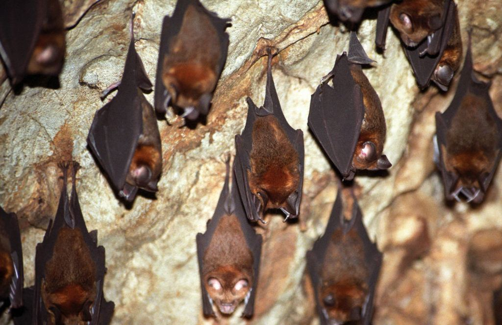 Bats hanging from cave ceiling.