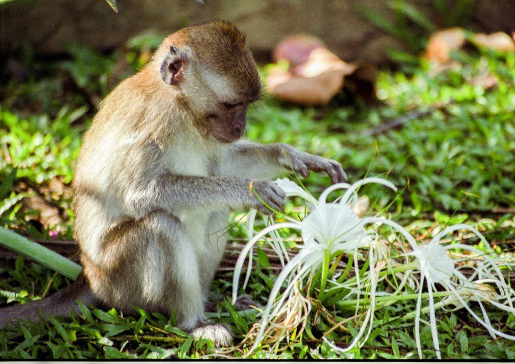 Monkey playing with white flower in Taman Negara National Park, Malaysia.