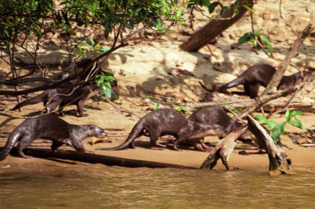 River Otters run along the shore as we boat down the river to the national park.