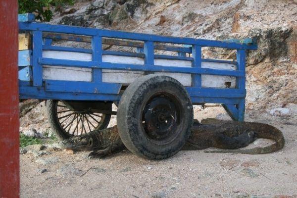 A komodo dragon is underneath a blue wagon.