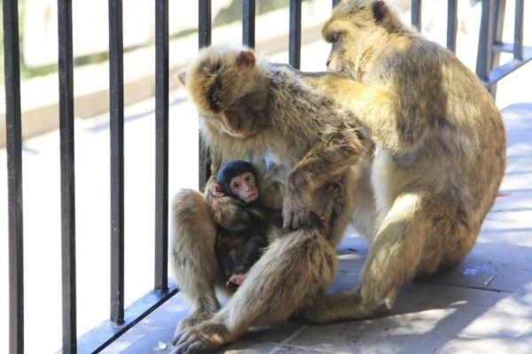 A mother with a baby sits while her mate grooms her.