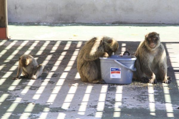 Several Barbary apes with a pail of feed.