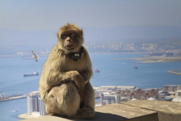 Barbary ape sitting high up on The Rock of Gibraltar.