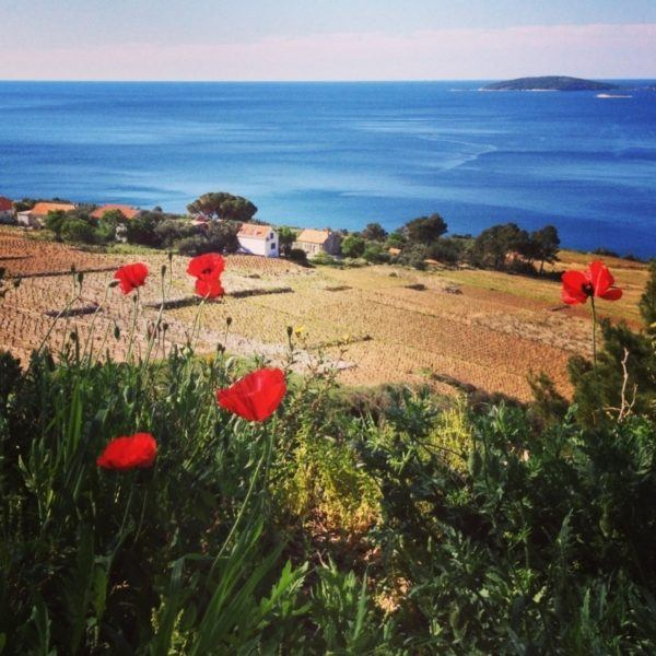 Red poppies looking out to the Adriatic sea.