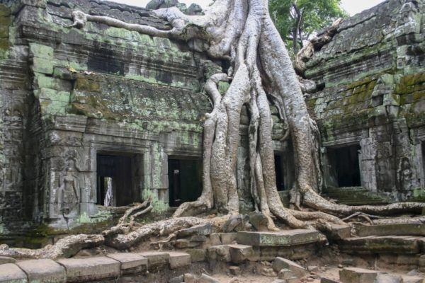 Massive tree roots spreading over a temple in Anglor Wat.