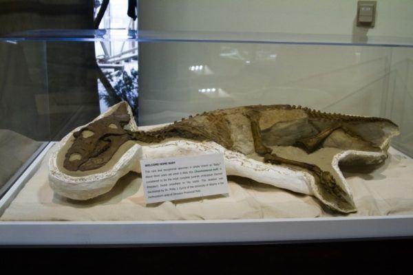 Baby dinosaur fossil on display.