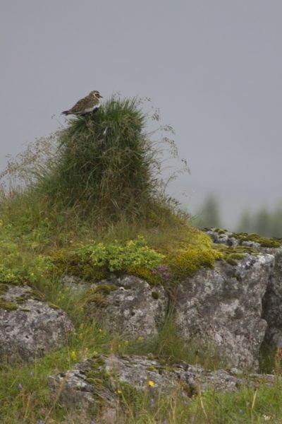 Golden plover on guard duty.