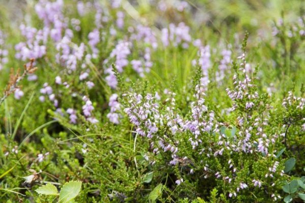 Purple grass flowers in Iceland.