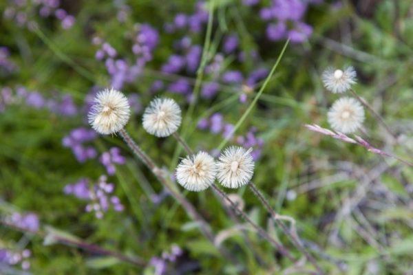 Purple stemmed flowers go to seed like dandelions.