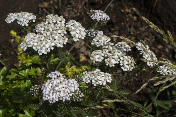 It might be called common yarrow, but the billowy clouds of white flowers are anything but common.