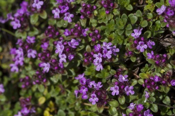 Wild arctic thyme in Iceland has the most beautiful purple flowers.