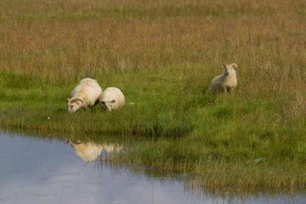 Sheep grazing near reflective pond in Iceland.