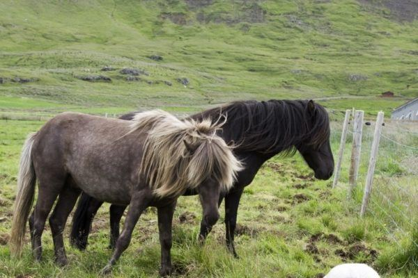 Two Icelandic ponies, a gray and a black.