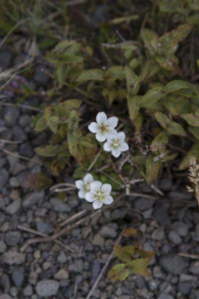Stunning little white marsh grass flowers.