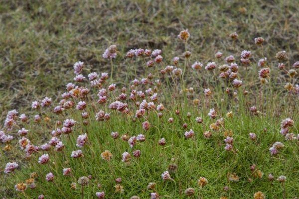 Purple wildflowers fill a field in Iceland.
