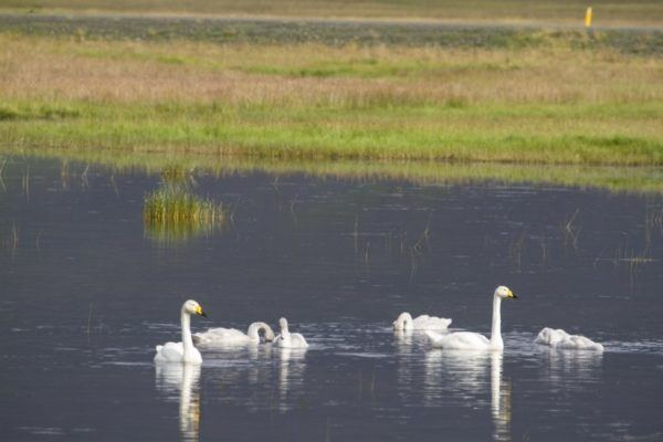 A swan family swims by in an Icelandic lake.