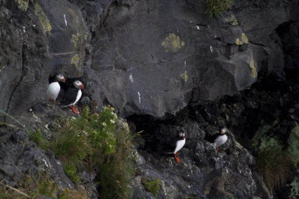 Puffins in their cliffside nesting area.