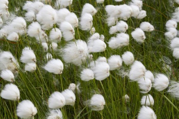 Arctic cotton blowing on the wind.