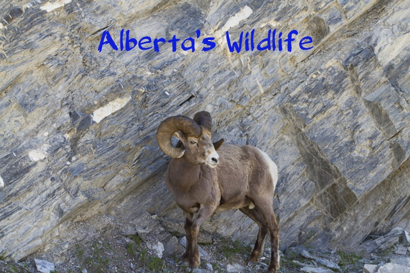 Alberta's Wildlife