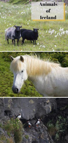 Animals of Iceland.