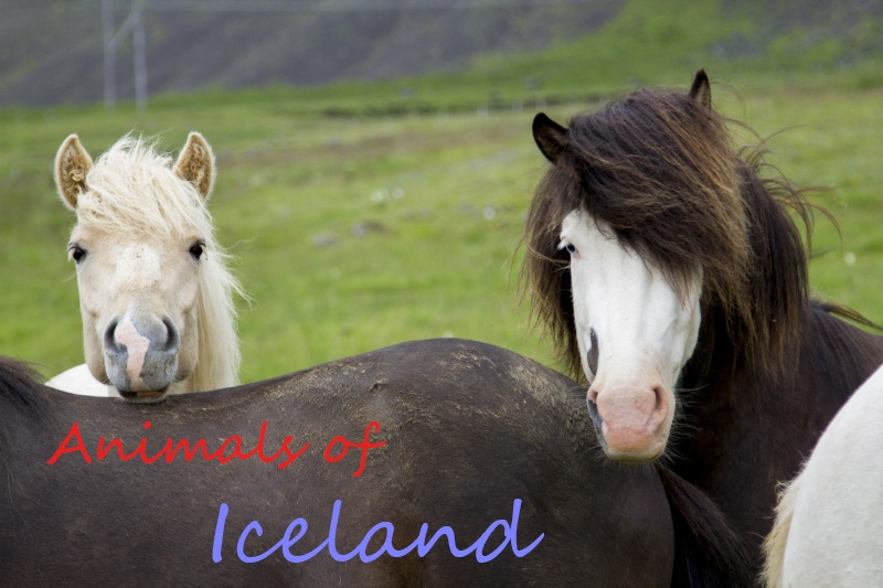 Icelandic ponies are just some of the animals you can find in Iceland.