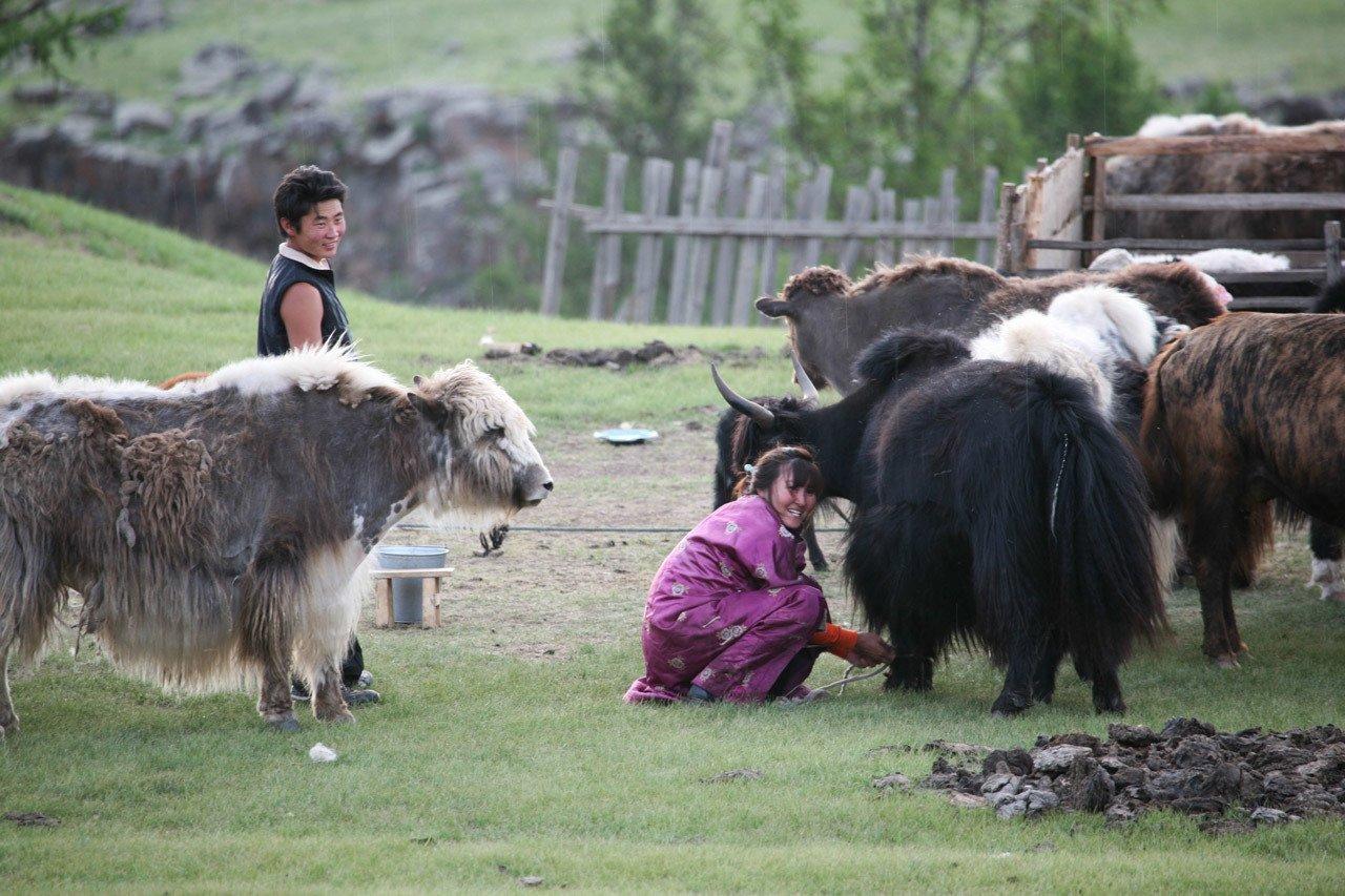 Milking the yaks in the rain.