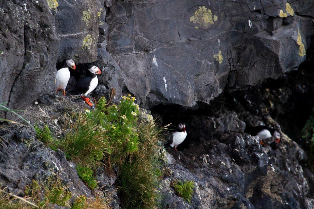Puffins roosting in the cliffs at Dyrhólaey.