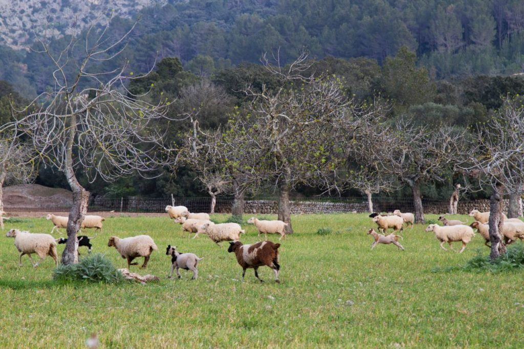 Mallorca is so idyllic with sheep and goat and cows and more.