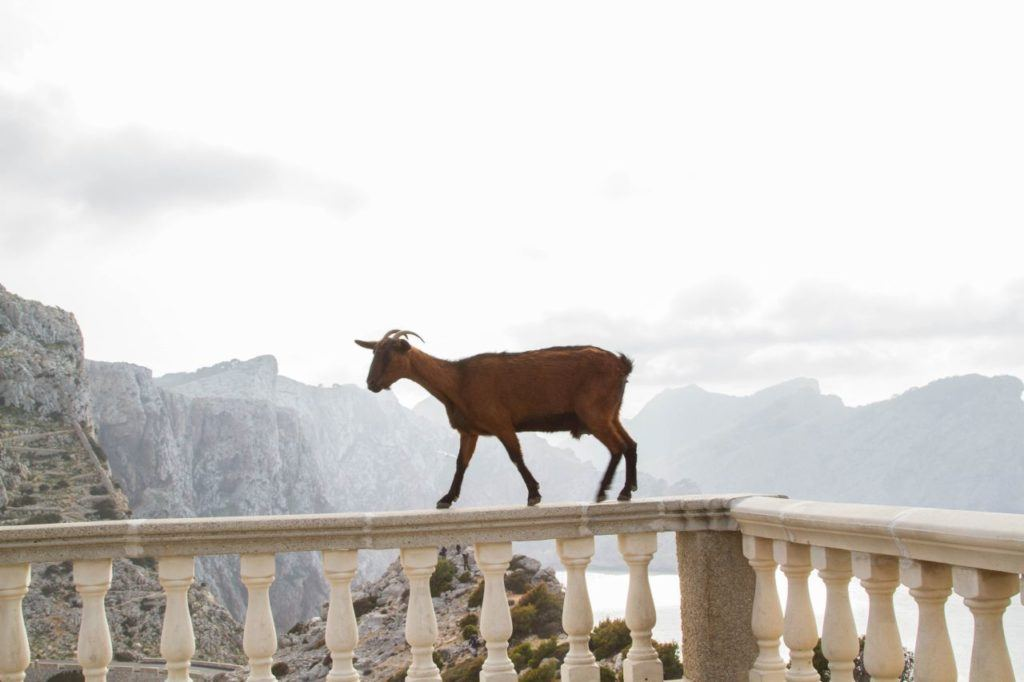 The goats are really not afraid of heights or people as this one demonstrates.