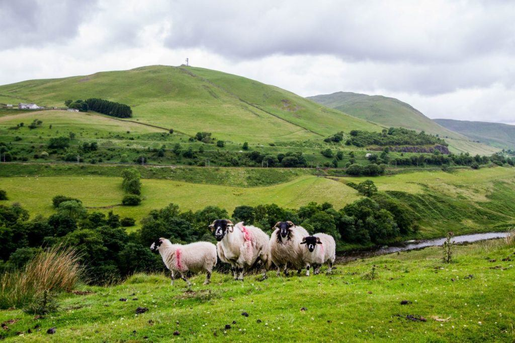 Blackface sheep pose for the camera on a Lake District hillside.