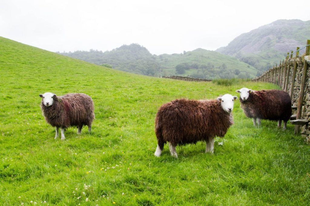 The famous, and adorable, Lake District Herdwick sheep.