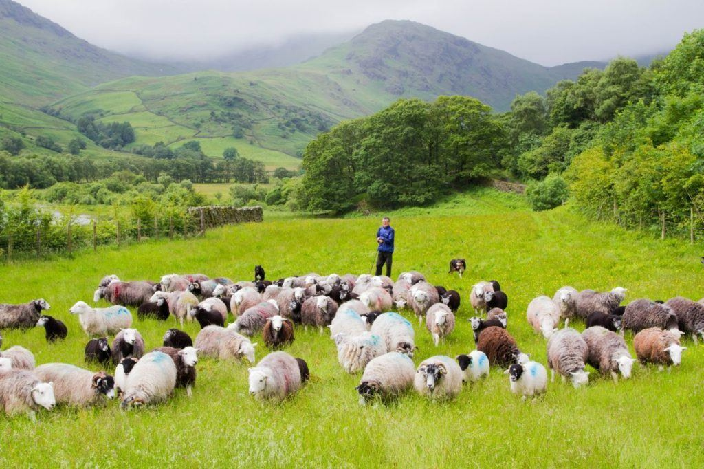 A Lake District shepherd and his dog tend a flock of sheep.