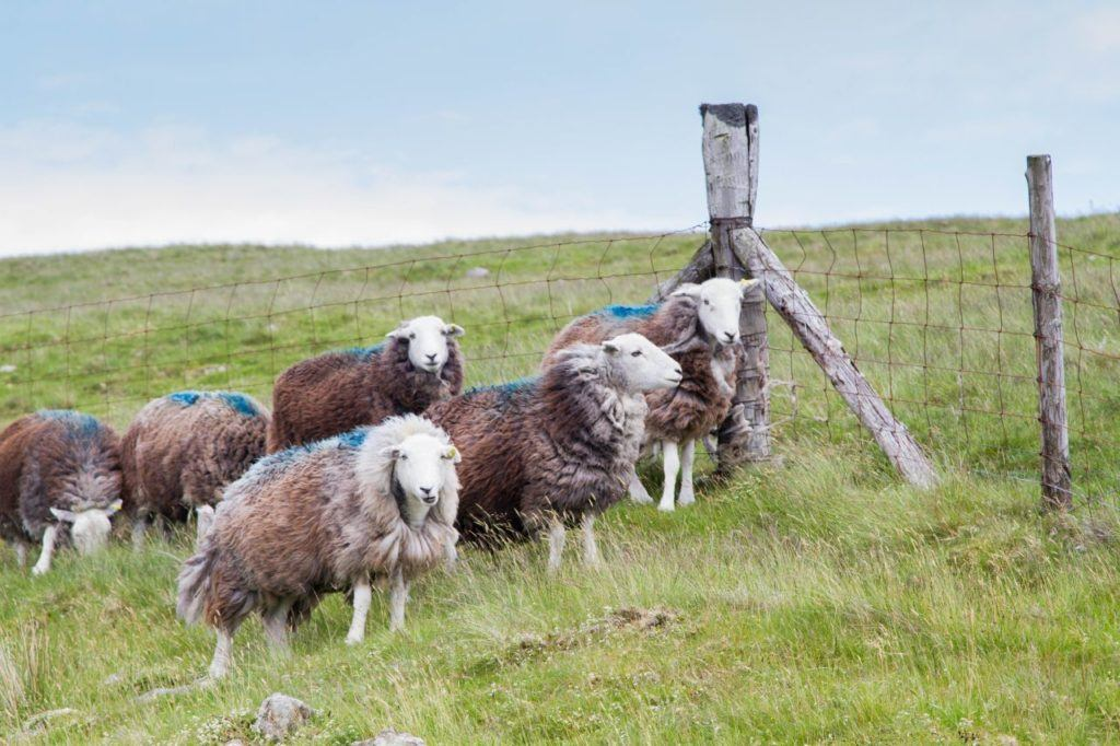 These Herdwick sheep are just about ready for shearing.