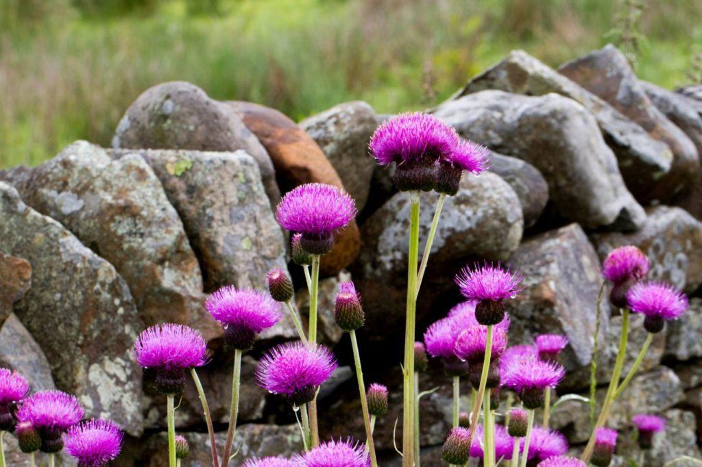 Incredibly vibrant thistle flowers.