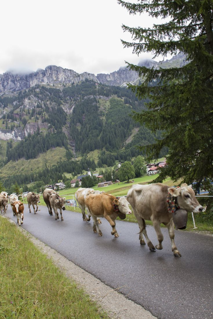 Say Cheese! Alpine Cow Parades