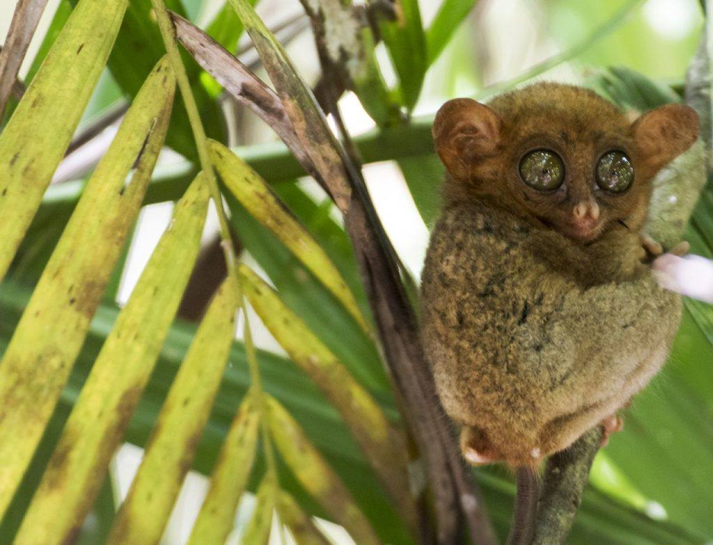 A bulging eyed tarsier sits in a a bush in Bohol, Phillipines.