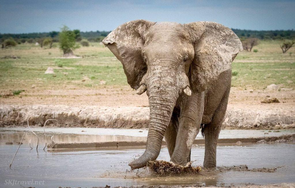 Large elephant rushes through a mud hole in Botswana.