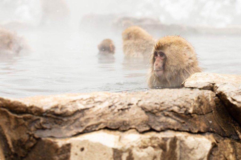 Many snow monkeys are in the natural hot spring, but juvenile is closest.