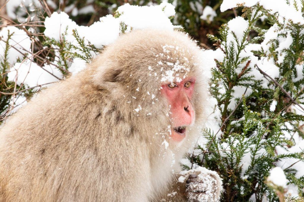 Cheeky monkey with snow on his head in the monkey park, Japan.