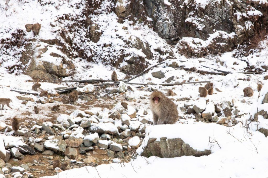 Snow monkey sitting in the snow.