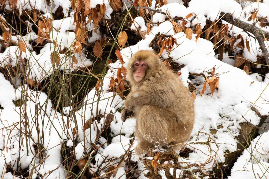Snow monkey sitting in the snow and foliage.