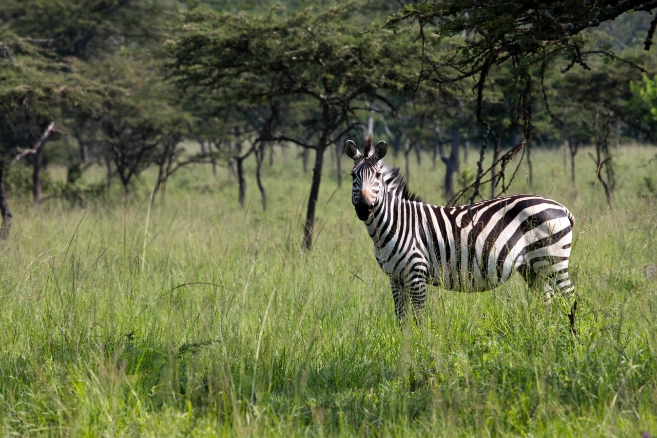 In Mburo National Park, a zebra stairs down the car on our Uganda Self Drive.