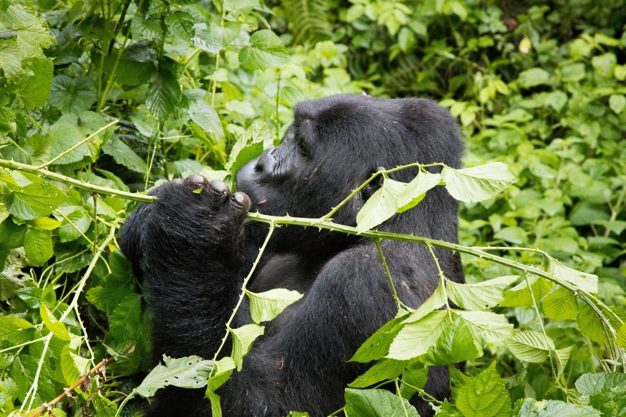 Your Uganda self drive can't be complete without tracking the Bwindi mountain gorillas.
