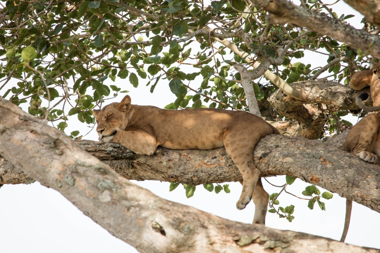 Tree climbing lions can be found as you drive yourself along the fig tree track in the Ishasha sector of Queen Elizabeth National Park on your Uganda self drive.