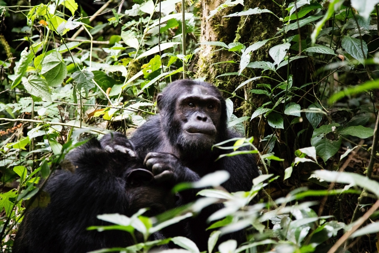 The chimpanzees are waiting for you in Kibale National Park, Uganda self drive.