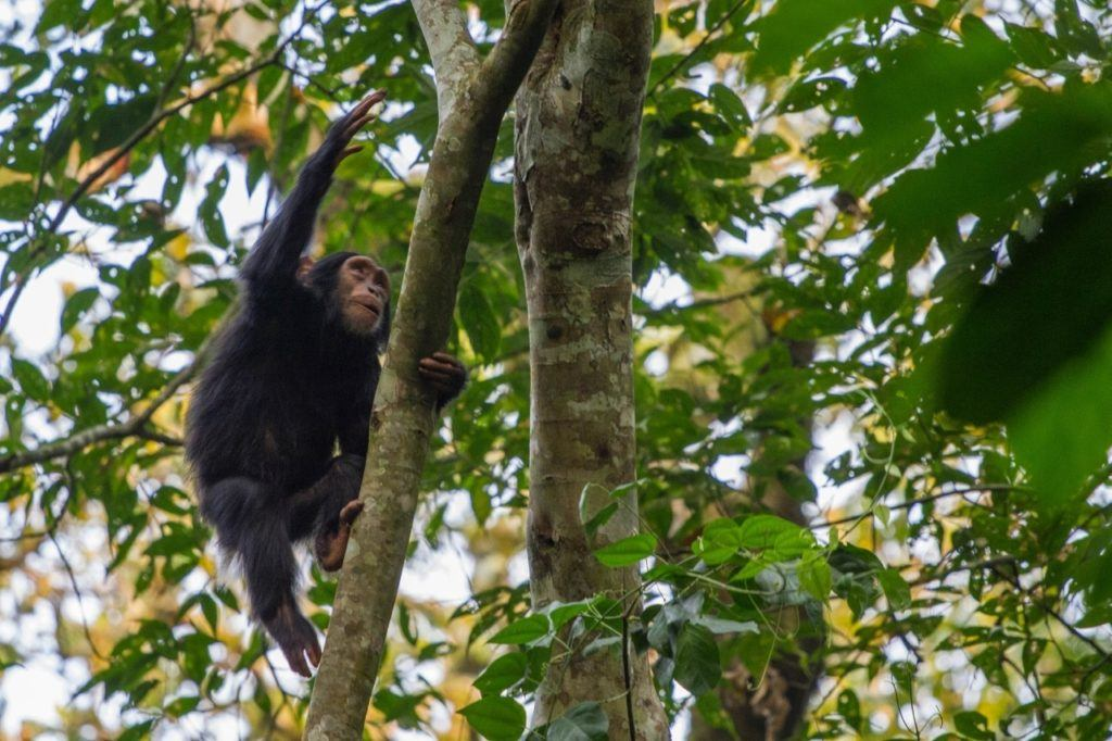 Young chimpanzee climbing a tree in Kibale National Park, Uganda.